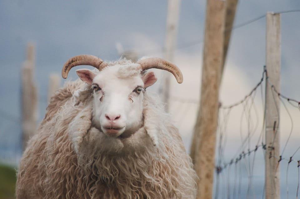 Mouton des îles Féroé