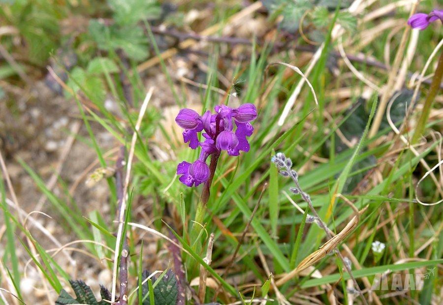 orchidée sauvage, une espèce protégée